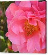 Camellias Of The South Canvas Print