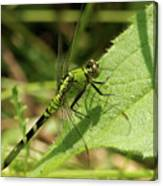 Cameo Green Dragonfly Canvas Print
