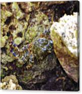 Camouflaged Crab Canvas Print