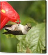 Can I Help You Hummingbird  Canvas Print