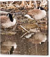 Canada Geese  Canvas Print
