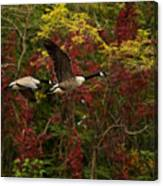 Canada Geese In Autumn Canvas Print