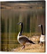 Canada Geese In Golden Sunlight Canvas Print