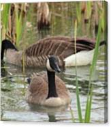 Canada Geese In Pond Canvas Print