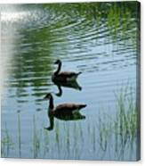 Canada Geese Swimming By Fountain Canvas Print