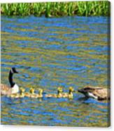 Canada Geese With 5 Goslings Canvas Print