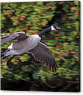 Canada Goose Landing Canvas Print