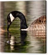Canada Goose Reflections Canvas Print