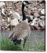 Canadian Goose By The River Canvas Print