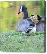 Canadian Goose Mother And Babies Canvas Print