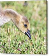 Canadian Gosling Canvas Print