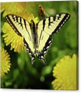 Canadian Swallowtail Butterfly Canvas Print