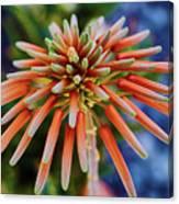 Candelobra Aloe In San Diego Canvas Print