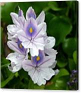 Candlelight Water Hyacinth Bloom Canvas Print