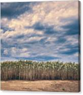 Cane Thicket Canvas Print