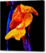 Canna Lilies On Black With Blue Canvas Print