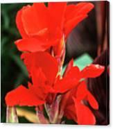 Canna Lily 'lucifer' Canvas Print