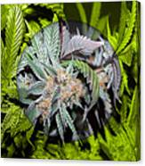 Cannabis 420 Collection Canvas Print