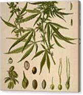 Cannabis Sativa  Canvas Print