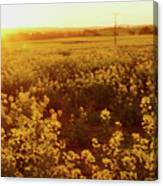 Canola Sunburst Canvas Print