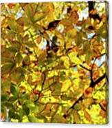 Canopy Of Autumn Leaves  Canvas Print