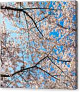 Canopy Of Cherry Blossoms Canvas Print