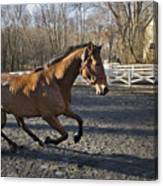 Canter Canvas Print