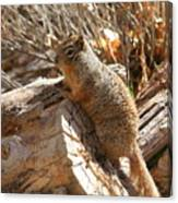 Canyon Squirrel Canvas Print