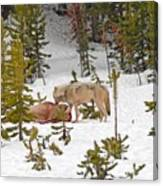 Canyon Wolf On Elk Kill Canvas Print