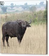 Cape Buffalo Eating Grass In Queen Elizabeth National Park, Ugan Canvas Print