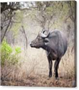 Cape Buffalo In A Clearing Canvas Print