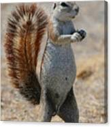 Cape Ground-squirrel  Canvas Print