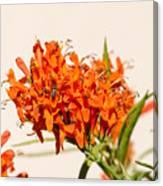 Cape Honeysuckle - The Autumn Bloomer Canvas Print