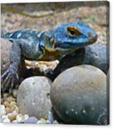 Cape Rock Lizard Canvas Print