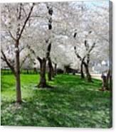 Capitol Gardens Cherry Trees Canvas Print