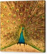 Captain Peacock Canvas Print