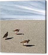 Captiva Brids Canvas Print