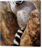 Captive Ring Tailed Lemur Perched In A Stone Tree Canvas Print