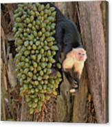 Capuchin Monkey Lunch Canvas Print