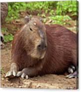 Capybara Canvas Print