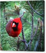 Cardinal 2 Canvas Print