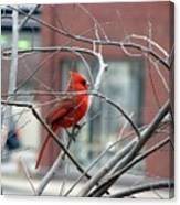 Cardinal Amid The Twigs Canvas Print