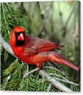 Cardinal Attitude Canvas Print