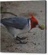 Cardinal Examining Food Canvas Print