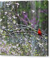 Cardinal In Flowering Tree Canvas Print