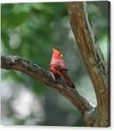 Cardinal In Tree Canvas Print