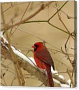 Cardinal In Winter Canvas Print