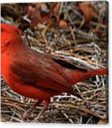 Cardinal On Pine Straw Canvas Print