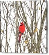 Cardinal Resting Canvas Print