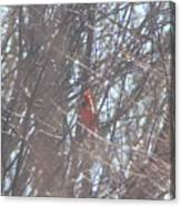 Cardinal Singing  Canvas Print